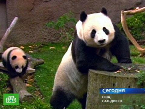 Юнь Цзы учится карабкаться по деревьям.зоопарки, панды.НТВ.Ru: новости, видео, программы телеканала НТВ