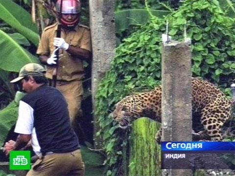 Голодный леопард нападает на людей.животные, Индия, леопарды.НТВ.Ru: новости, видео, программы телеканала НТВ