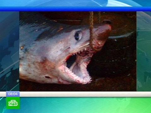 Поймали акулу.акулы, Дальний Восток, несчастные случаи, Приморье.НТВ.Ru: новости, видео, программы телеканала НТВ