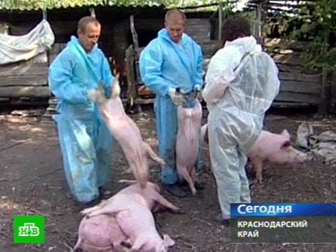 Африканская чума губит кубанских свиней.свинина, эпидемии, животные.НТВ.Ru: новости, видео, программы телеканала НТВ