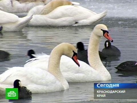 Дикие лебеди попали вледяные силки.морозы, птицы.НТВ.Ru: новости, видео, программы телеканала НТВ