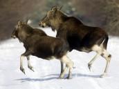 Семья лосей вышла на МКАД.животные, лось, МКАД.НТВ.Ru: новости, видео, программы телеканала НТВ