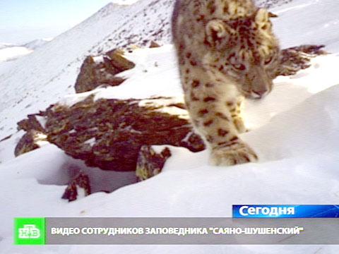 Снежные барсы выгуливают котят перед фотоловушками.браконьерство, животные, Красноярский край.НТВ.Ru: новости, видео, программы телеканала НТВ