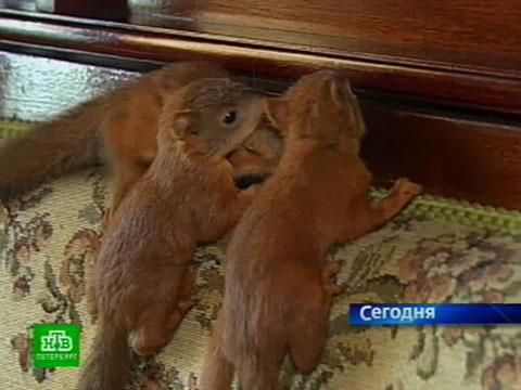 Петербургские квартиры обживают очаровательные бельчата.НТВ.Ru: новости, видео, программы телеканала НТВ