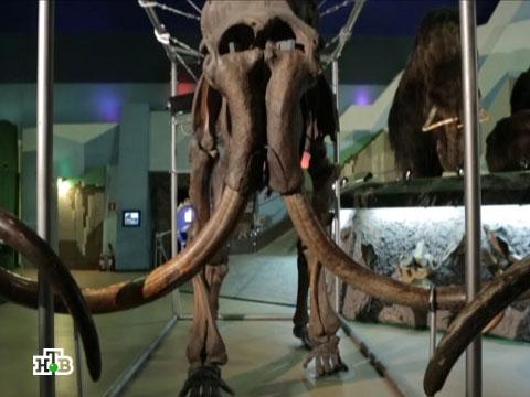 Якутских мамонтов воскресят ученые из Южной Кореи.клонирование, мамонты, наука, ученые, эксклюзив, Южная Корея, Якутия.НТВ.Ru: новости, видео, программы телеканала НТВ