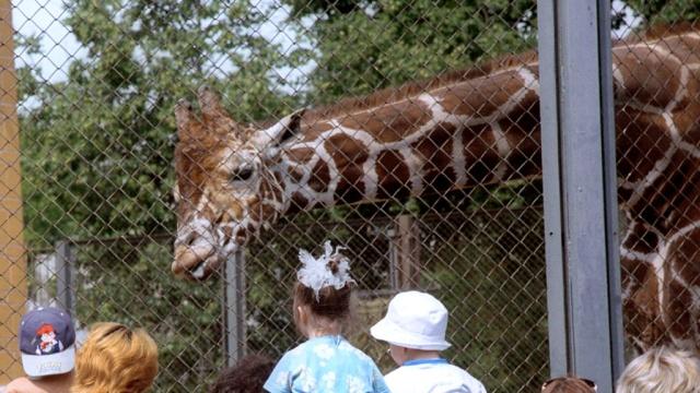 Во время обрушения помоста в зоопарке жираф Самсон успел отскочить.дети, зоопарки, Москва, обрушения, эксклюзив.НТВ.Ru: новости, видео, программы телеканала НТВ