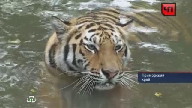 Садисты-браконьеры калечат и убивают тигров ради наживы.животные, законодательство, Путин, тигры.НТВ.Ru: новости, видео, программы телеканала НТВ