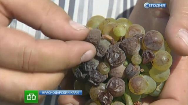 Кубанские виноделы готовят изысканные вина из гнилых ягод.алкоголь, вино, Краснодарский край, Кубань.НТВ.Ru: новости, видео, программы телеканала НТВ