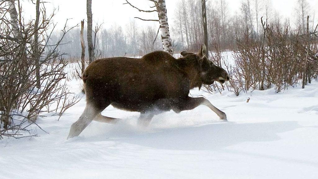 Жестокая охота на лосей