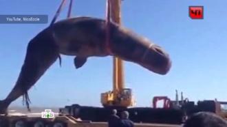 В Уругвае гигантскую тушу кашалота убирали с пляжа подъемным краном