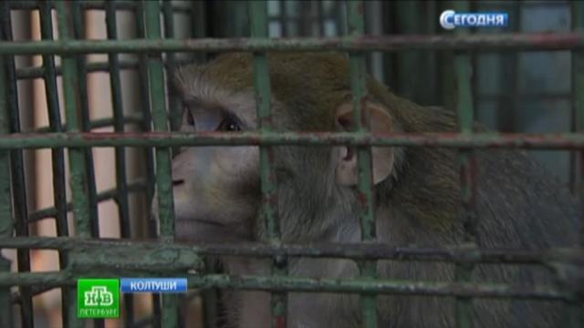 Неравнодушные петербуржцы отремонтируют вольеры для макак и шимпанзе.животные, наука, обезьяны, Санкт-Петербург.НТВ.Ru: новости, видео, программы телеканала НТВ
