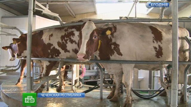 Чеченские фермеры собираются накормить россиян молоком, сметаной имясом.молоко, продукты, санкции, сельское хозяйство, торговля, Чечня.НТВ.Ru: новости, видео, программы телеканала НТВ