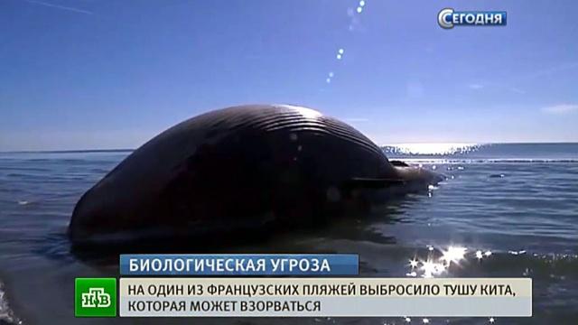 Мертвый кит у побережья Франции может взорваться в любой момент.Франция, животные, киты.НТВ.Ru: новости, видео, программы телеканала НТВ