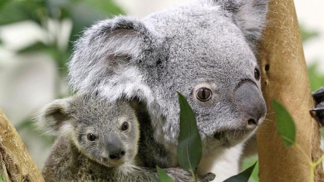 ВАвстралии тайно убиты 700голодающих коал.Австралия, животные, лес, экология.НТВ.Ru: новости, видео, программы телеканала НТВ