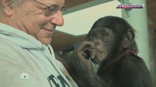 Суд в США приравнял обезьян к людям.США, животные, обезьяны, правозащитники, суды.НТВ.Ru: новости, видео, программы телеканала НТВ