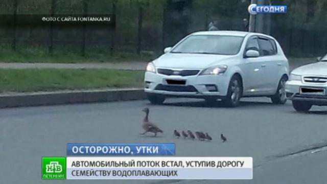 Питерские водители пропустили утиное семейство на переходе.Санкт-Петербург, дороги, животные, птицы.НТВ.Ru: новости, видео, программы телеканала НТВ