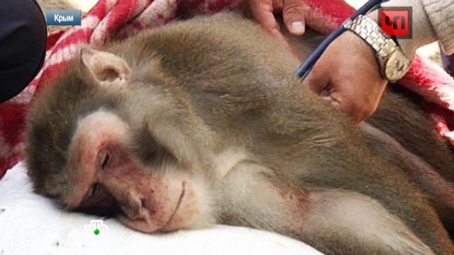 Ошибка ветеринаров привела к гибели обезьян в крымском зоопарке.Крым, Ялта, ветеринария, животные, зоопарки, обезьяны.НТВ.Ru: новости, видео, программы телеканала НТВ