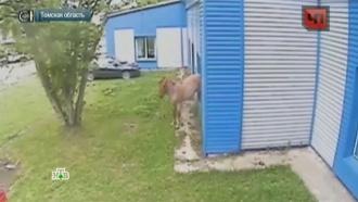 В Томской области влюбленный конь бьет стекла в домах