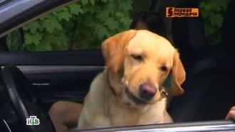 «Автоликбез»: нужно ли пристегивать собаку ремнем безопасности.НТВ.Ru: новости, видео, программы телеканала НТВ