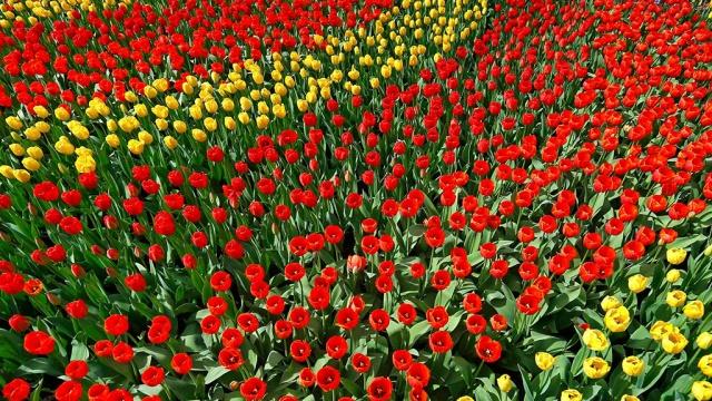 С понедельника Россия ужесточает правила ввоза цветов из Голландии.Нидерланды, Россельхознадзор, цветы.НТВ.Ru: новости, видео, программы телеканала НТВ