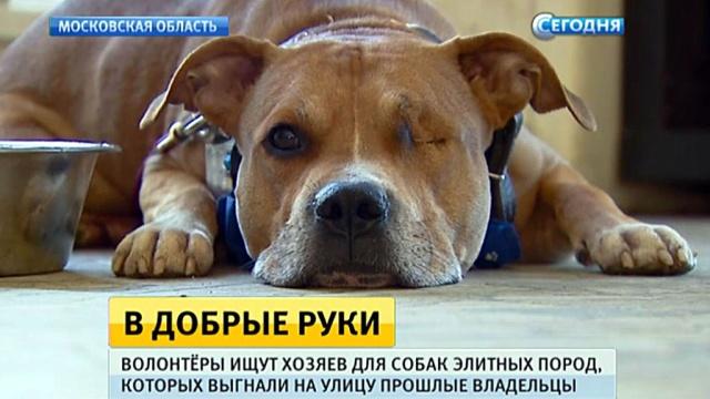ВМоскве проводят выставку выброшенных на улицу породистых псов.Москва, животные, приюты для животных, собаки.НТВ.Ru: новости, видео, программы телеканала НТВ