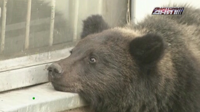 ВПриморье из-за нашествия медведей детям запретили гулять на улице.Приморье, животные, медведи.НТВ.Ru: новости, видео, программы телеканала НТВ