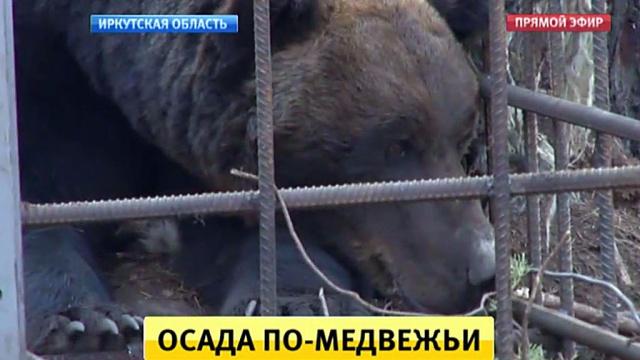 Осада по-медвежьи: огромные хищники наводят ужас на жителей иркутского села.Иркутская область, животные, медведи.НТВ.Ru: новости, видео, программы телеканала НТВ