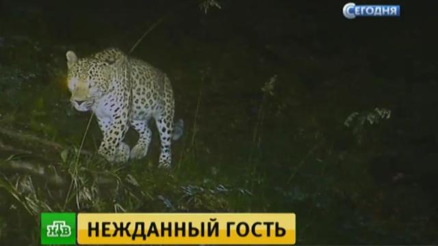 В горах Дагестана появился леопард.Дагестан, животные, леопарды.НТВ.Ru: новости, видео, программы телеканала НТВ