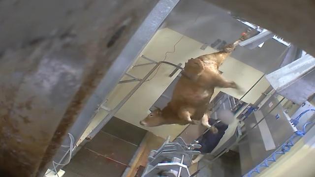 Зоозащитники добились закрытия скотобойни во Франции из-за скандального видео.Бардо, Франция, животные, скандалы.НТВ.Ru: новости, видео, программы телеканала НТВ