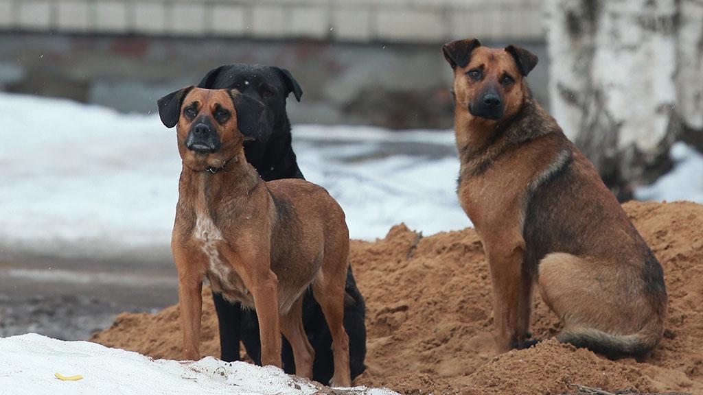 Бешеная собака искусала 18 человек в Брянской области // НТВ.Ru