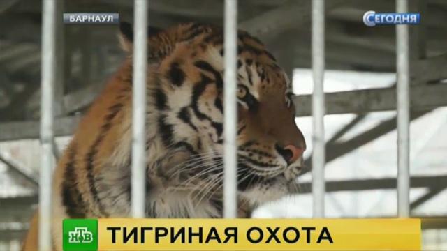 Вбарнаульском зоопарке прокомментировали нападение тигра на школьницу.Барнаул, дети и подростки, зоопарки, тигры.НТВ.Ru: новости, видео, программы телеканала НТВ