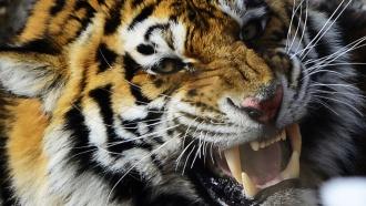 Вбарнаульском зоопарке тигр напал на школьницу