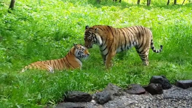 Тигр сексуальная характеристика