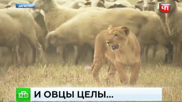 В Дагестане львица-пастух стала местной звездой.Дагестан, животные, львы.НТВ.Ru: новости, видео, программы телеканала НТВ