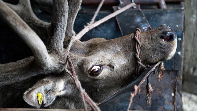 На Ямале сибирская язва убила более тысячи оленей.Ямало-Ненецкий АО, болезни, животные, карантин, олени.НТВ.Ru: новости, видео, программы телеканала НТВ