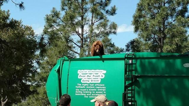 Медведь проехал 8км на мусоровозе вСША.США, животные, курьезы, медведи.НТВ.Ru: новости, видео, программы телеканала НТВ