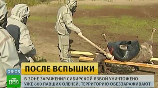 На Ямале уничтожили останки 600оленей, погибших от сибирской язвы.Ямало-Ненецкий АО, болезни, животные, эпидемия.НТВ.Ru: новости, видео, программы телеканала НТВ