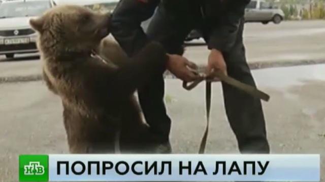 Пришедший в администрацию Сергача медведь перепугал жителей города.Нижегородская область, животные, медведи.НТВ.Ru: новости, видео, программы телеканала НТВ