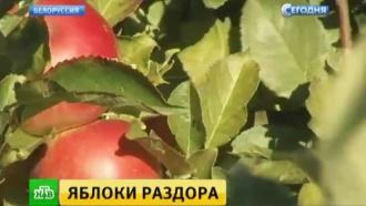 Контрабанда или реэкспорт: чудеса превращения польских яблок вбелорусские