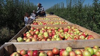 Белорусскими складами яблок заинтересовался Россельхознадзор