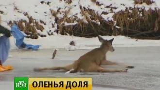 ВСША спасли замерзавшего на льду оленя
