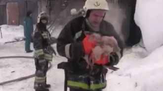 Томские пожарные на руках вынесли из горящего свинарника 150поросят