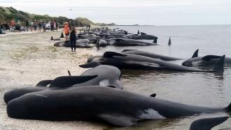 В Новой Зеландии на берег выбросились 400 китов-пилотов