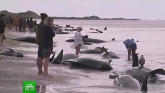 Сотни волонтеров прибыли на помощь выбросившимся китам в Новой Зеландии