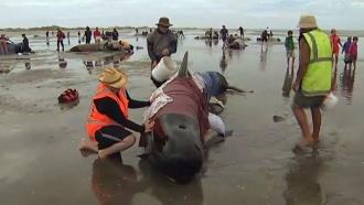 Десятки дельфинов снова выбросились на берег в Новой Зеландии