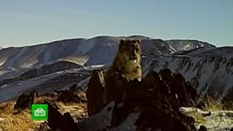 На Алтае фотоловушки зафиксировали сразу четырех снежных барсов