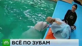 Стоматолог из Ярославля избавила от зубной боли белуху Мишу