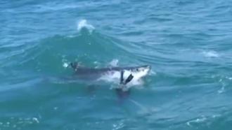 Акула проглотила тюленя на глазах утуристов