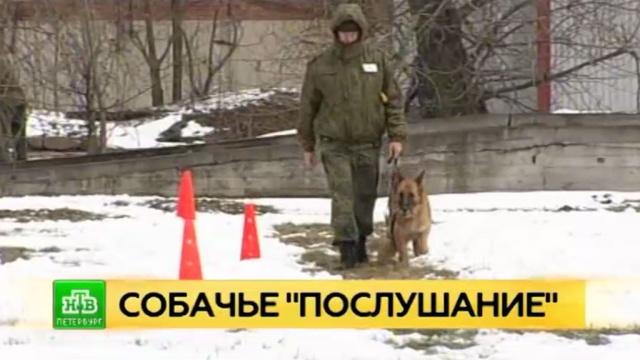 В Петербурге выбирают лучшую служебную собаку Северо-Западной таможни.Санкт-Петербург, собаки, таможня.НТВ.Ru: новости, видео, программы телеканала НТВ