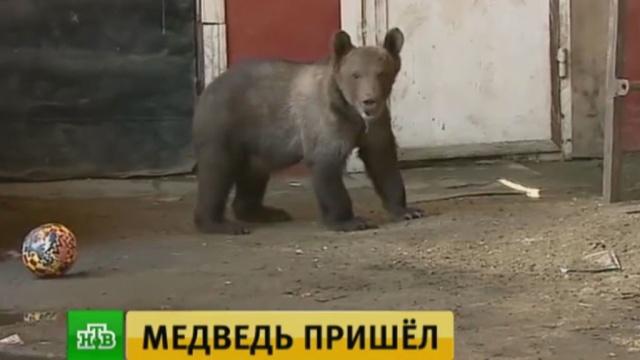 Уральский бизнесмен выгуливает медведя на городских улицах.Челябинская область, животные, медведи.НТВ.Ru: новости, видео, программы телеканала НТВ